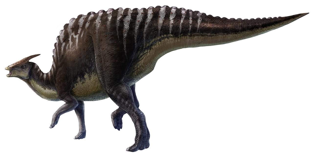 Saurolophus angustirostris - Illustrazione di L. Xing e Y. Liu